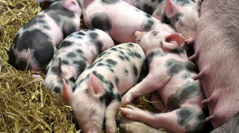 Co robią świnie?