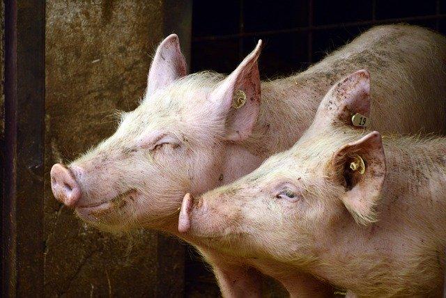 Obniżenie poziomu białka w żywieniu świń