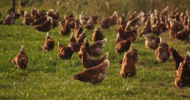 Cała prawda o grypie ptaków (HPAI)