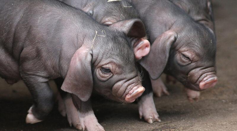 Niezwykłe świnie