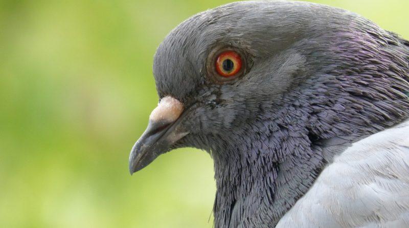 Gołębie mięsne