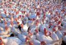Rozporządzenie Powiatowego Lekarza Weterynarii w Inowrocławiu dot. ptasiej grypy