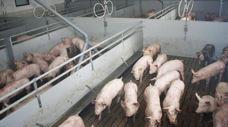 Bezpieczeństwo w obsłudze świń